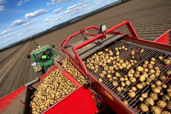 «Контінентал Фармерз Груп»збирає урожай картоплі