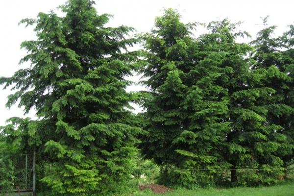 На Тернопільщині лісники виростили північноамериканське дерево