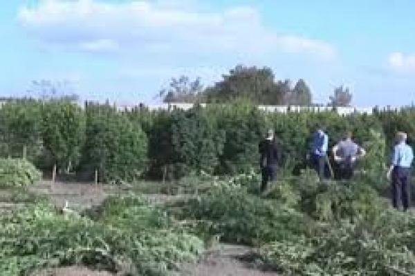 Тернопільські правоохоронці досі «не знайшли» власників плантації канабісу розміром із футбольне поле.