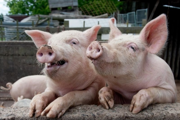 Африканська чума свиней на Тернопільщині: як відрізнити заражене м'ясо